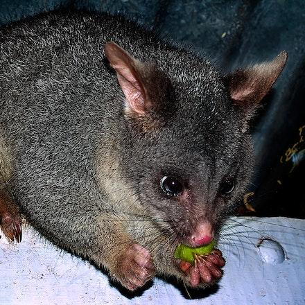 Donnelly_Possum - OLYMPUS DIGITAL CAMERA