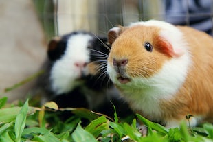 pets ~ Guinea Pigs - even furbabies are family