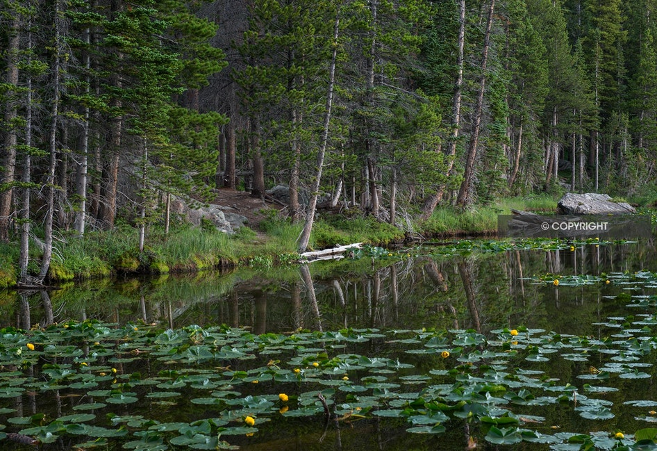 Water Lilies-Nymph Lake - Rocky Mountain National Park, CO