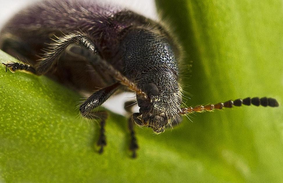 121 Hairy Beetle