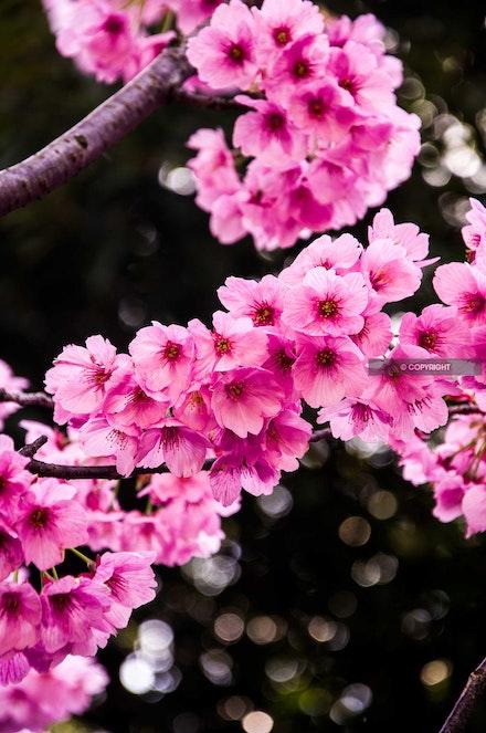 5 - Cherry blossom