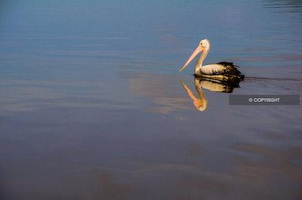 3 - Pelican