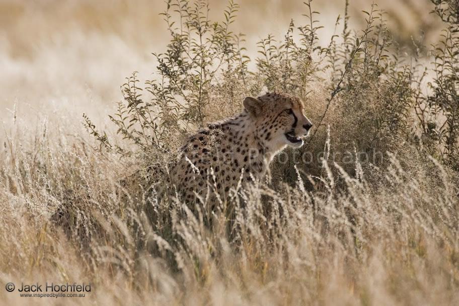 cheetah_camoflauge_dry_grass_game