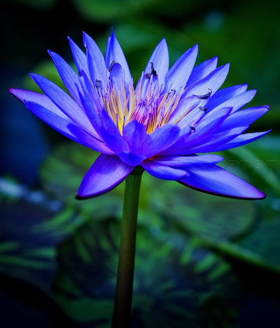 Blue Lotus Flower 0092