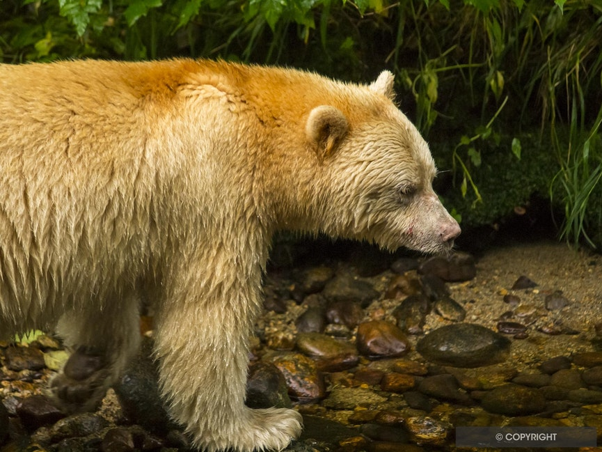 Spirit Bear Profile - Spirit bear walking in the Great Bear Rainforest, British Columbia, Canada