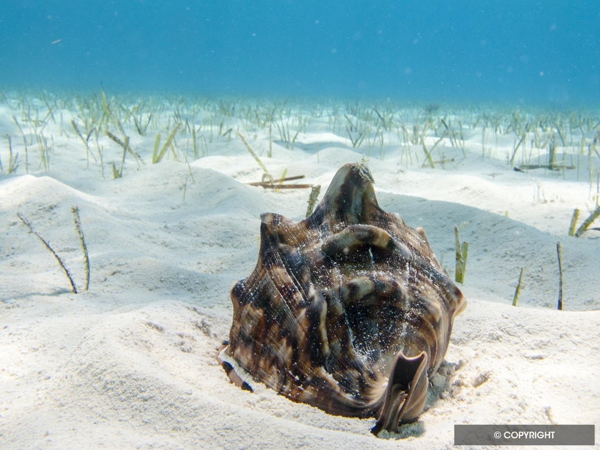 Emperor Helmet Conch at Home - A young emperor, or queen, helmet conch, Cassis madagascariensis,  finishes a sand dollar for lunch in a sparse seagrass...