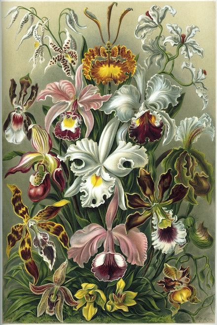 Orchids - Reworking of a Public Domain work from the Kunstformen der Natur (known in English as Art Forms in Nature), a book of lithographic and halftone...