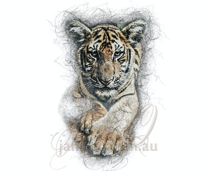 Uhuru -freedom dreaming - Like domestic cats, all tigers can purr. Unlike their tame relatives, however, which can purr as they breathe both in and out,...