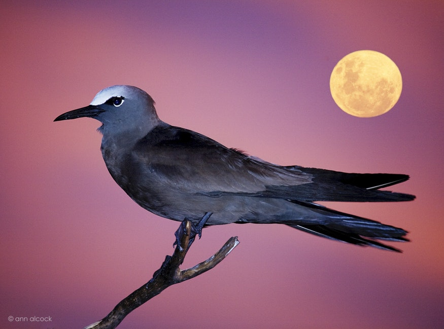 Birds-3 - Black Noddy