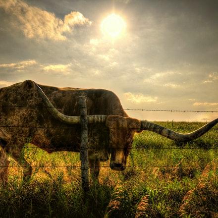 Bull  7.10.2015.3 - Bull. In Western Nebraska near Ogallala, a longhorn bull eyes a stranger on the other side of the fence. #nebraska #bovine #pasture...