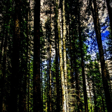 Spot Light 7.10.2015.10 - Spot Light. A pair of aspens steal the show in the Rocky Mountains of Colorado. #tree #trees #vail #colorado #aspens #rockymountains...