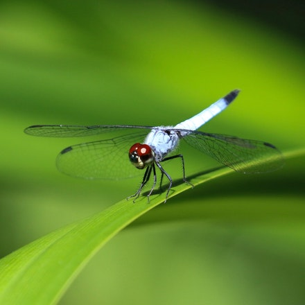 Palemouth ,  Brachydiplax denticauda. - Palemouth ,  Brachydiplax denticauda., dragonflies , wet tropics insects, dragonfly