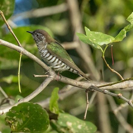 Shining Bronze-cuckoo , Chrysococcyx lucidus - Shining Bronze-cuckoo , Chrysococcyx lucidus