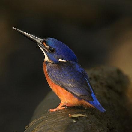 Azure Kingfisher , Alcedo azurea, (milman, kuku-Yalanji) - (press for more images)