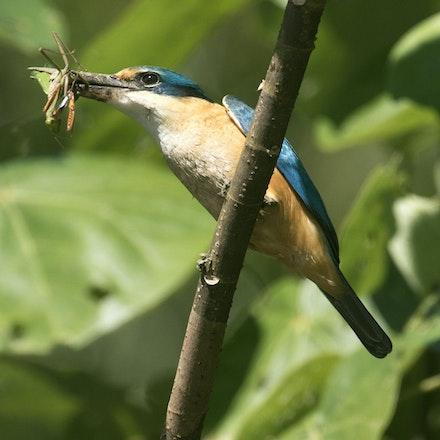 Sacred Kingfisher with  prey mantis - Sacred Kingfisher with  prey mantis