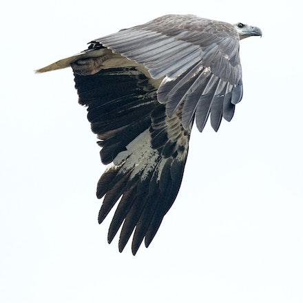White Bellied Sea Eagle, Haliaeetus leucogaster - (press for more images)