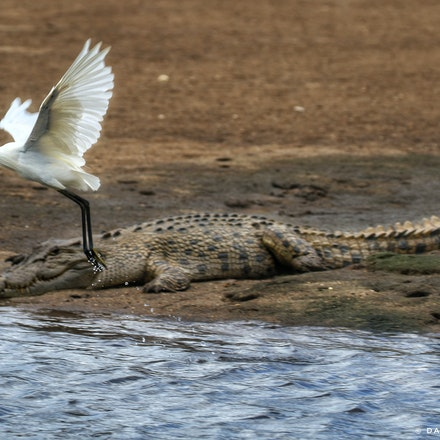 Gump and great egret - Gump and great egret,  wet tropics,  north queensland birds,  crocodiles