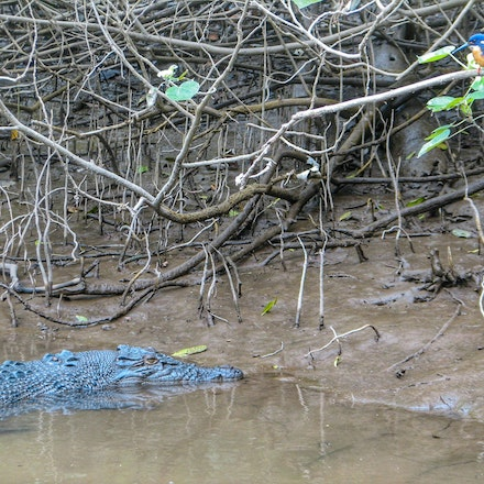 Lizzie and Azure kingfisher - Crocodile,  wet tropics, wildlife, birds of wet tropics,  daintree