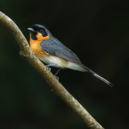 Spectacled Monarch, Symposiachrus trivirgatus - Spectacled Monarch , Symposiachrus trivirgatus