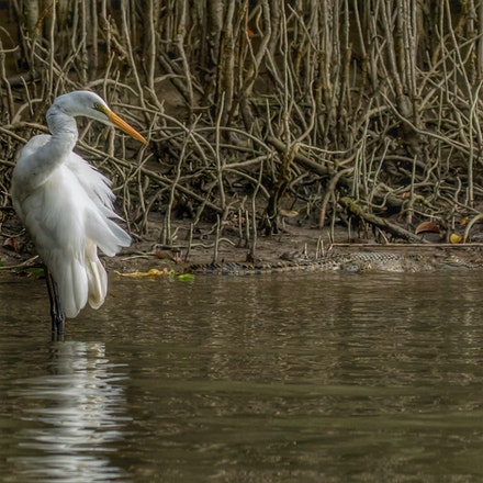 Great Egret and young crocodile - Birds, crocodiles, crocodylus porsus, egrets , wet tropics