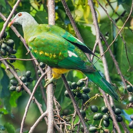 wompoo fruit dove , Ptilinopus magnificus - wompoo fruit dove , Ptilinopus magnificus